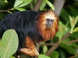 mico leão de cara dourada wikipédia a enciclopédia livre