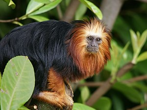Golden-headed lion tamarin - Adult at Chester Zoo