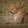 Leopard (51966050).jpeg