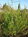 Lepidium virginicum (subsp. virginicum) sl4.jpg