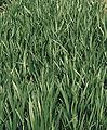 Les Plantes Cultivades. Cereals. Imatge 1826.jpg
