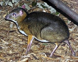 <i>Tragulus</i> genus of mammals