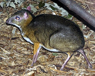 Tragulus - Image: Lesser.malay.mouse.d eer.arp