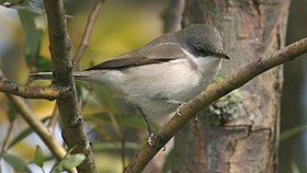 Lesser Whitethroat (Sylvia curruca) (2).jpg