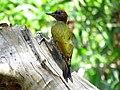 Lesser yellownape IMG 0887.jpg