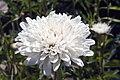 Leucanthemum x superbum Summer Snowball 1zz.jpg