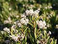 Leucopogon parviflorus 3.jpg