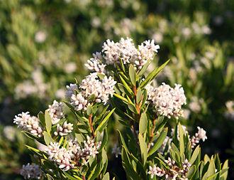 Leucopogon - Leucopogon parviflorus