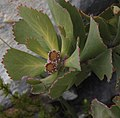 Leucospermum mundii Tony Rebelo 2.jpg