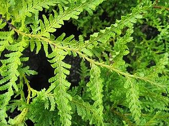 Libocedrus plumosa - Foliage showing flat sprays