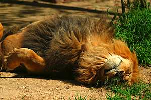 English: Lion (Panthera leo) at the San Diego Zoo