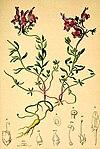 Linaria alpina Atlas Alpenflora.jpg