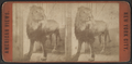 Lion in Central Park, from Robert N. Dennis collection of stereoscopic views.png