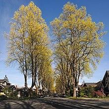 Liriodendron Wikipedia