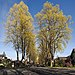 Liriodendron tulipifera at Vancouver BC 10th Ave at Dunbar in spring.jpg