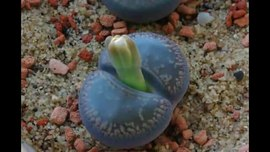 Файл:Lithops flower bud growth and first bloom - Time lapse HD video.ogv