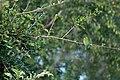 Little Bee-eater (3691556358).jpg
