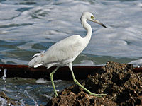 Little Blue Heron Juvenile RWD.jpg