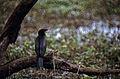 Little Cormorant (Phalacrocorax niger) (20059522484).jpg