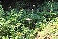Little Yoho Valley IMG 4848.JPG