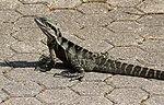 Lizard (30880010810).jpg