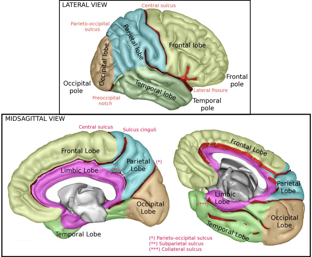 lobe of the brain wikimedia commons