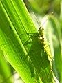 Locust(Oxyinae) eating grass DSCN9657.jpg