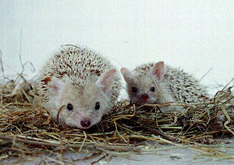 Long-eared hedgehog - Long-eared hedgehogs in Leningrad Zoo
