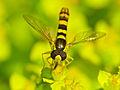Long Hoverfly (Sphaerophoria scripta) male (14167768911).jpg