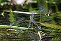 Long banded Bluetail (Archibasis oscillans) അരുവിത്തുമ്പി., Ovipositing (43412061275).jpg