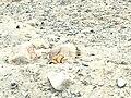 Long tailed Marmot at Khunjrab national Park.jpg