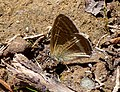 Long tailed blue. Lampides Boeticus - Flickr - gailhampshire.jpg