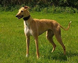 Saluki Dogs For Sale Ireland