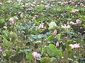 Lotus Nelumbo nucifera.JPG