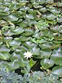 Lotus in SarasBaug.jpg