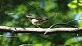 Louisiana Waterthrush (Parkesia motacilla) (5206244637).jpg
