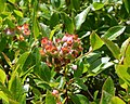 Lowbush Blueberry (Vaccinium angustifolium) - Witless Bay, Newfoundland 2019-08-12.jpg