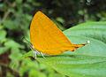 Loxura atymnus - Yamfly 35.JPG