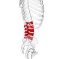 Lumbar vertebrae lateral4.png