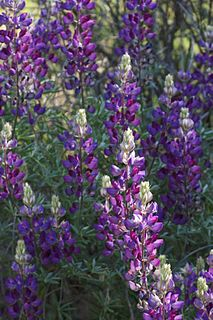 <i>Lupinus albifrons</i> species of plant