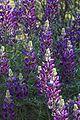 Lupinus albifrons.jpg