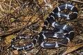 Lycodon septentrionalis, White-banded wolf snake - Doi Phu Kha National Park (48610855057).jpg