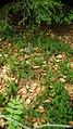Lycopodium annotinum 001.jpg