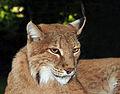 Lynx lynx (Linnaeus, 1758).jpg