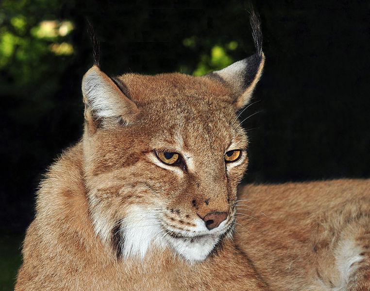 Soubor:Lynx lynx (Linnaeus, 1758).jpg