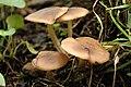 Lyophyllum decastes - Lindsey.jpg