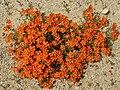 Lysimachia monelli (habitus).jpg