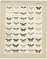 MA I437610 TePapa Plate-XI-The-butterflies full.jpg