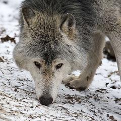 Histoire du loup dans LOUP 240px-MC_Timberwolf
