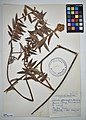 MNH DA 017-PAND-118 Freycinetia sphaerocephala Gaudich.jpg